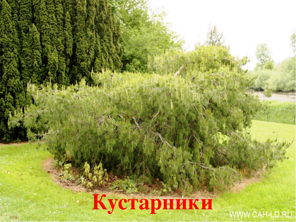 Этажи леса Деревья Кустарники Травянистые растения