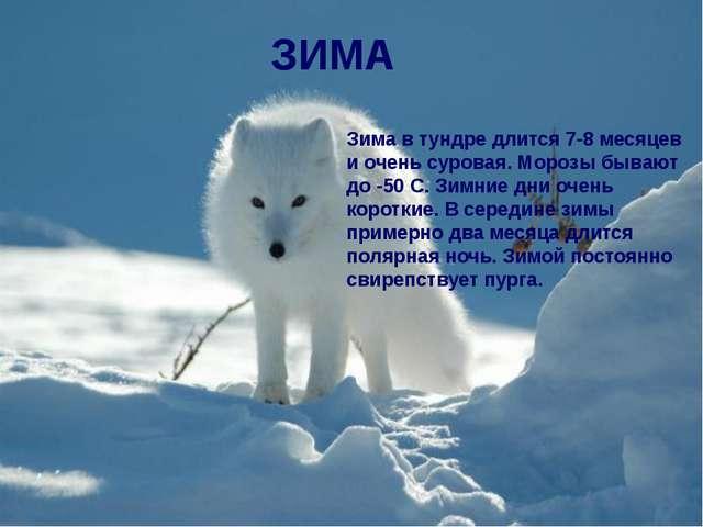 Зима в тундре длится 7-8 месяцев и очень суровая. Морозы бывают до -50 С. Зим...