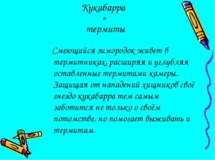 Кукабарра и термиты Смеющийся зимородок живет в термитниках, расширяя и углу