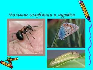 Большие голубянки и муравьи