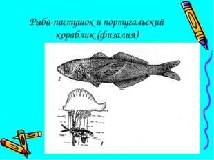 Рыба-пастушок и португальский кораблик (физалия)