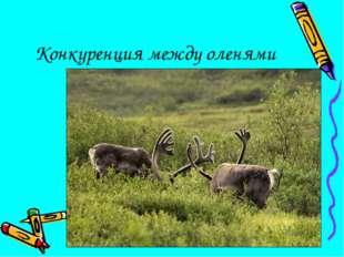 Конкуренция между оленями