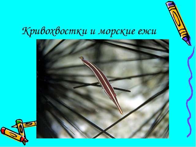 Кривохвостки и морские ежи
