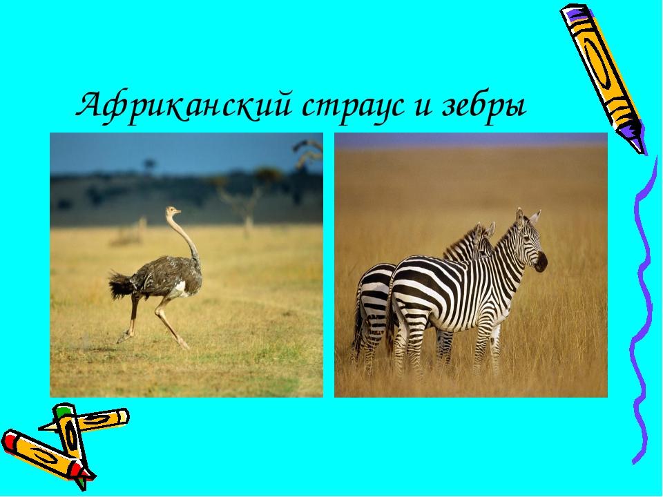 Африканский страус и зебры