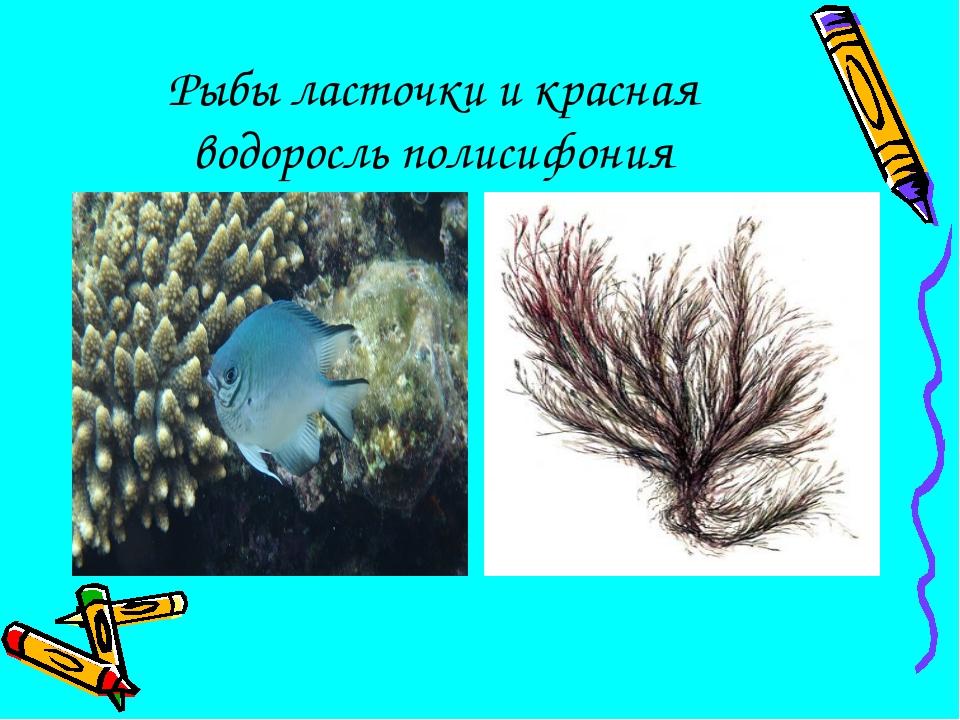 Рыбы ласточки и красная водоросль полисифония