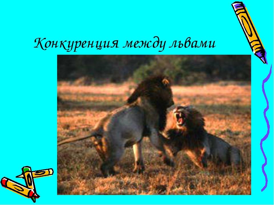 Конкуренция между львами