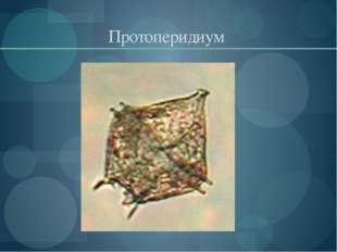 Протоперидиум