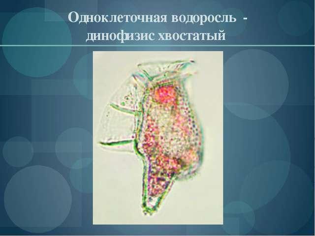 Одноклеточная водоросль - динофизис хвостатый