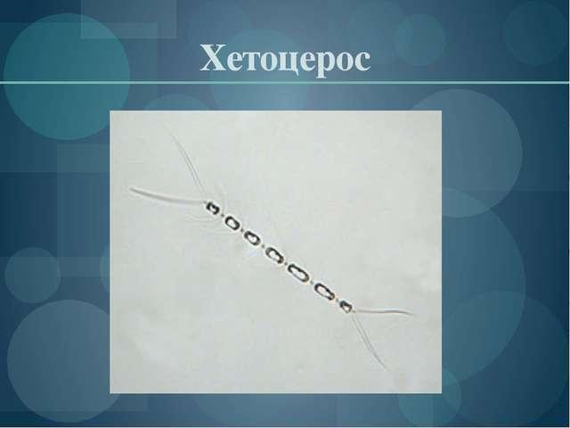 Хетоцерос