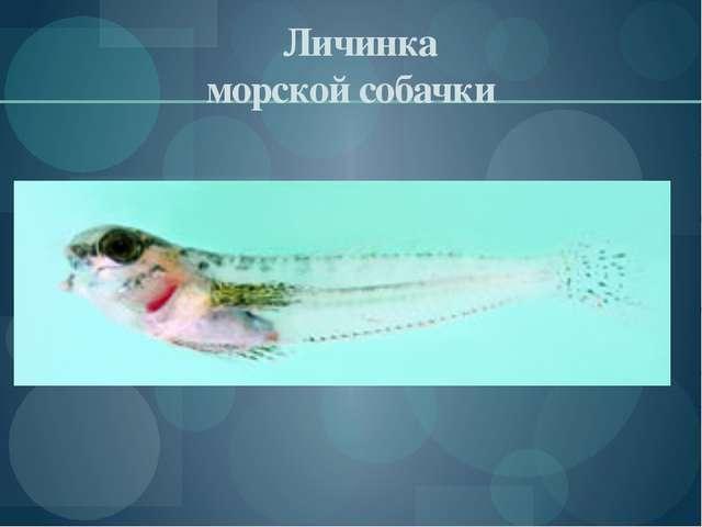 Личинка морской собачки