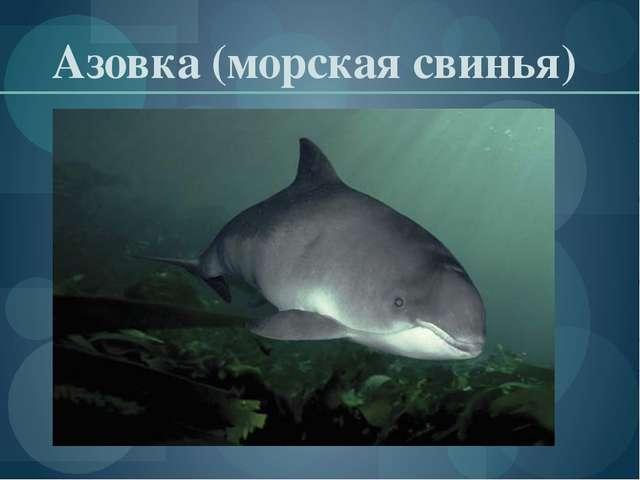 Азовка (морская свинья)