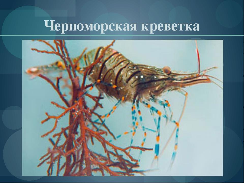 Черноморская креветка