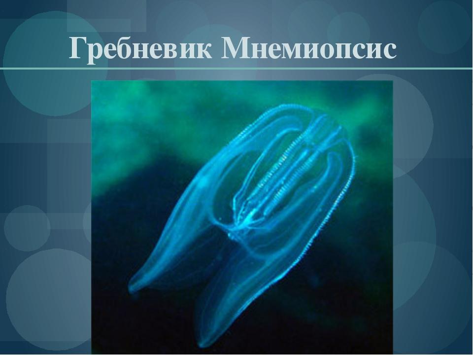 Гребневик Мнемиопсис