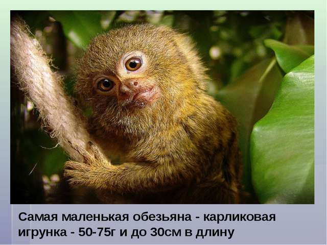 Самая маленькая обезьяна - карликовая игрунка - 50-75г и до 30см в длину