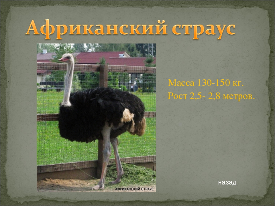 Масса 130-150 кг. Рост 2,5- 2,8 метров. назад