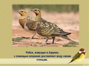 Рябки, живущие в Африке, с помощью оперения доставляют воду своим птенцам.