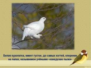 Белая куропатка, имеет густое, до самых когтей, оперение на лапах, называемое