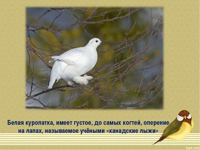 Белая куропатка, имеет густое, до самых когтей, оперение на лапах, называемое...