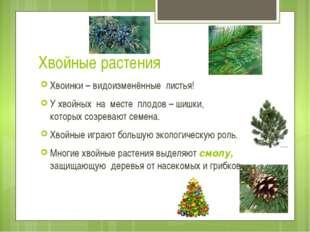 Хвойные растения Хвоинки – видоизменённые листья! У хвойных на месте плодов –