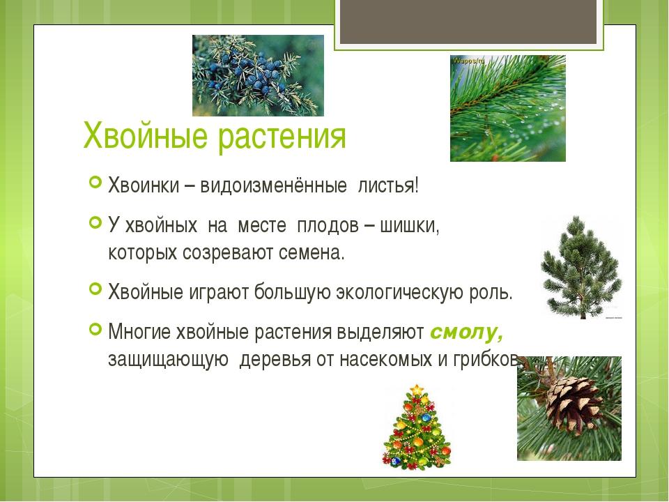 Хвойные растения Хвоинки – видоизменённые листья! У хвойных на месте плодов –...