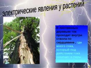В лиственных деревьях ток проходит внутри ствола по сердцевине , где много со