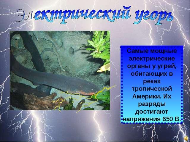 Самые мощные электрические органы у угрей, обитающих в реках тропической Амер...