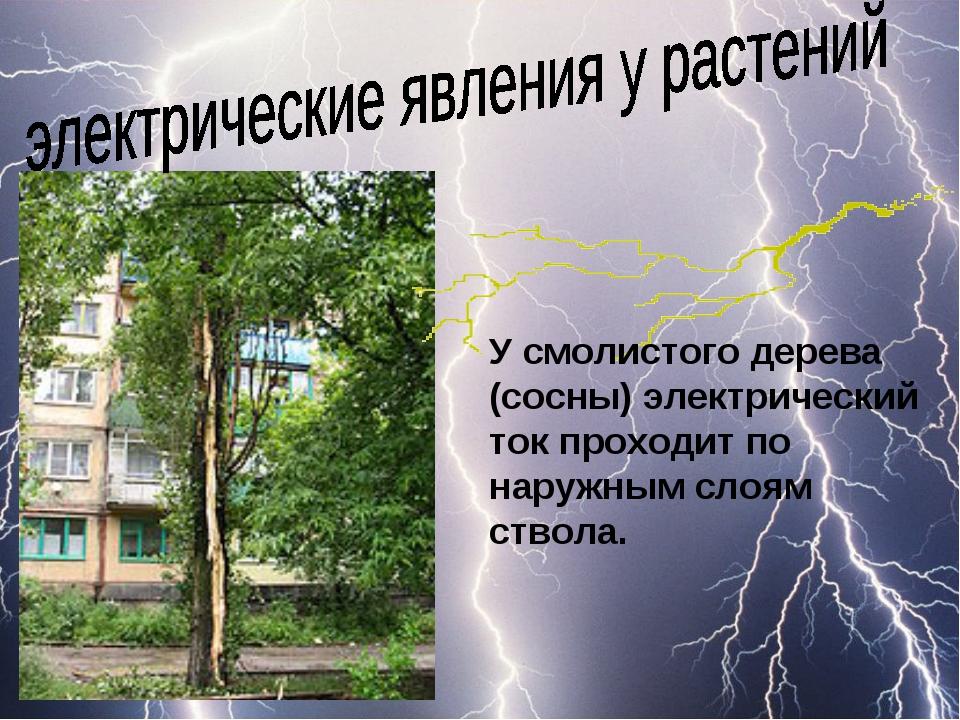 У смолистого дерева (сосны) электрический ток проходит по наружным слоям ство...