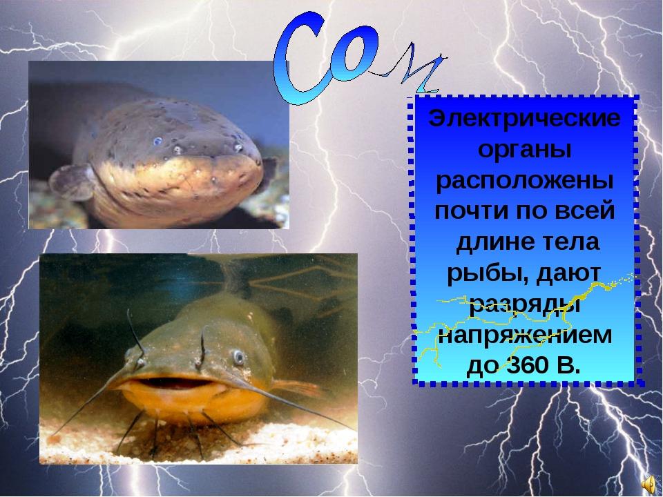 Электрические органы расположены почти по всей длине тела рыбы, дают разряды...
