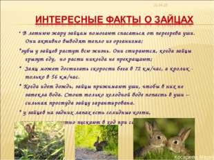 * * В летнюю жару зайцам помогают спасаться от перегрева уши. Они активно выв