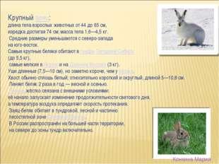 Крупныйзаяц: длина тела взрослых животных от 44 до 65см, изредка достигая 7