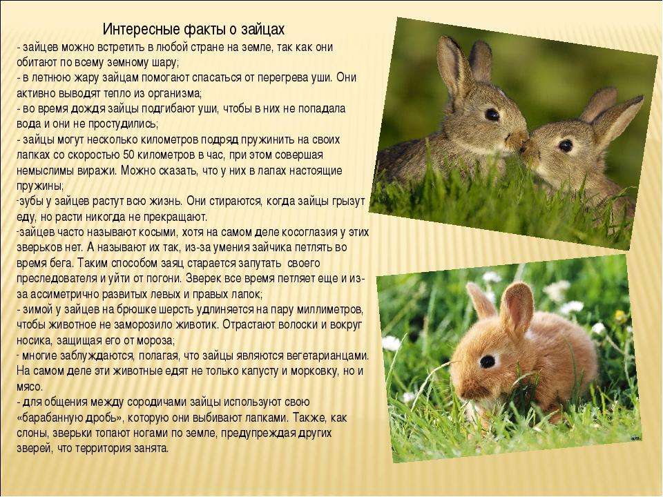 Интересные факты о зайцах - зайцев можно встретить в любой стране на земле, т...