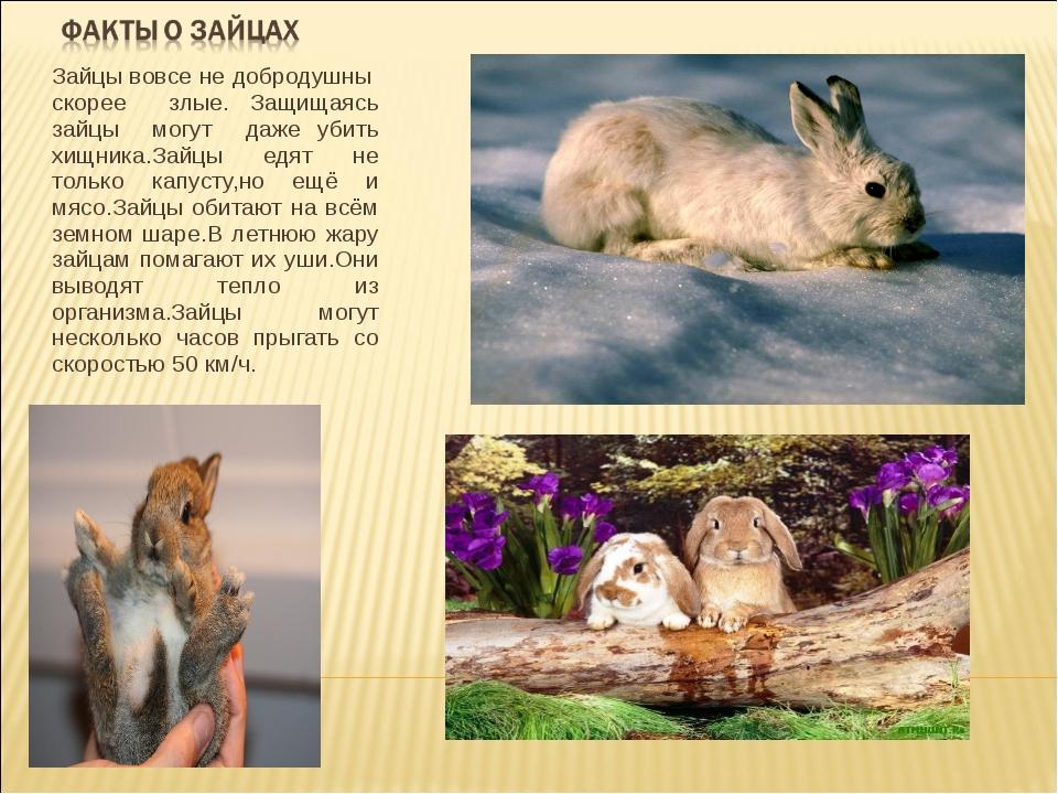Зайцы вовсе не добродушны скорее злые. Защищаясь зайцы могут даже убить хищни...
