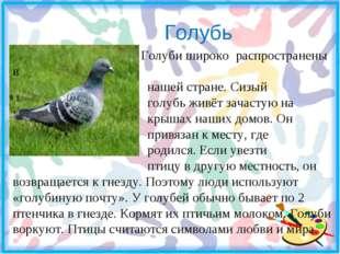 Голубь Голуби широко распространены в нашей стране. Сизый голубь живёт зачас