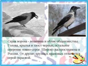 Серая ворона - величина и облик общеизвестны. Голова, крылья и хвост черные,