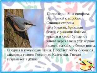 Поползень - Sitta europaea. Величиной с воробья. Спинная сторона голубоватая