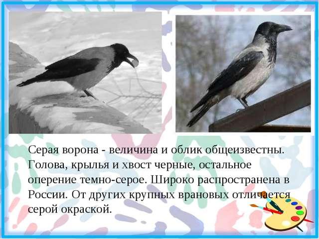 Серая ворона - величина и облик общеизвестны. Голова, крылья и хвост черные,...