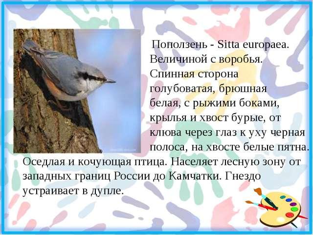 Поползень - Sitta europaea. Величиной с воробья. Спинная сторона голубоватая...