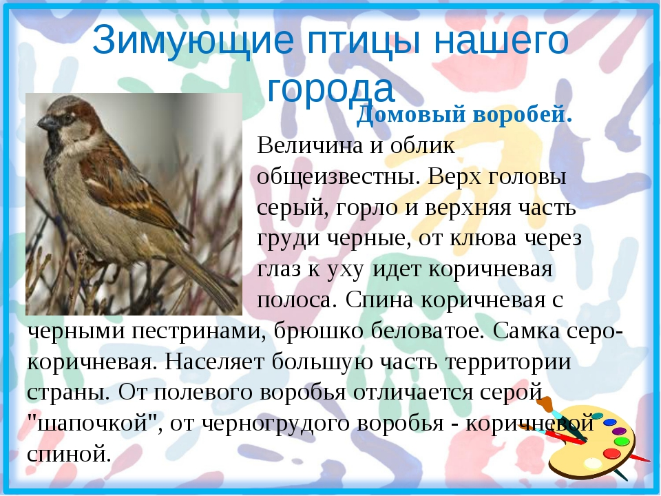 Зимующие птицы нашего города Домовый воробей. Величина и облик общеизвестны....