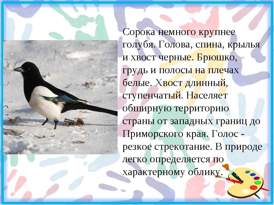 Сорока немного крупнее голубя. Голова, спина, крылья и хвост черные. Брюшко,...