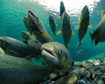Интересные факты про лосося