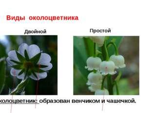 Виды околоцветника Двойной Простой Околоцветник: образован венчиком и чашечк