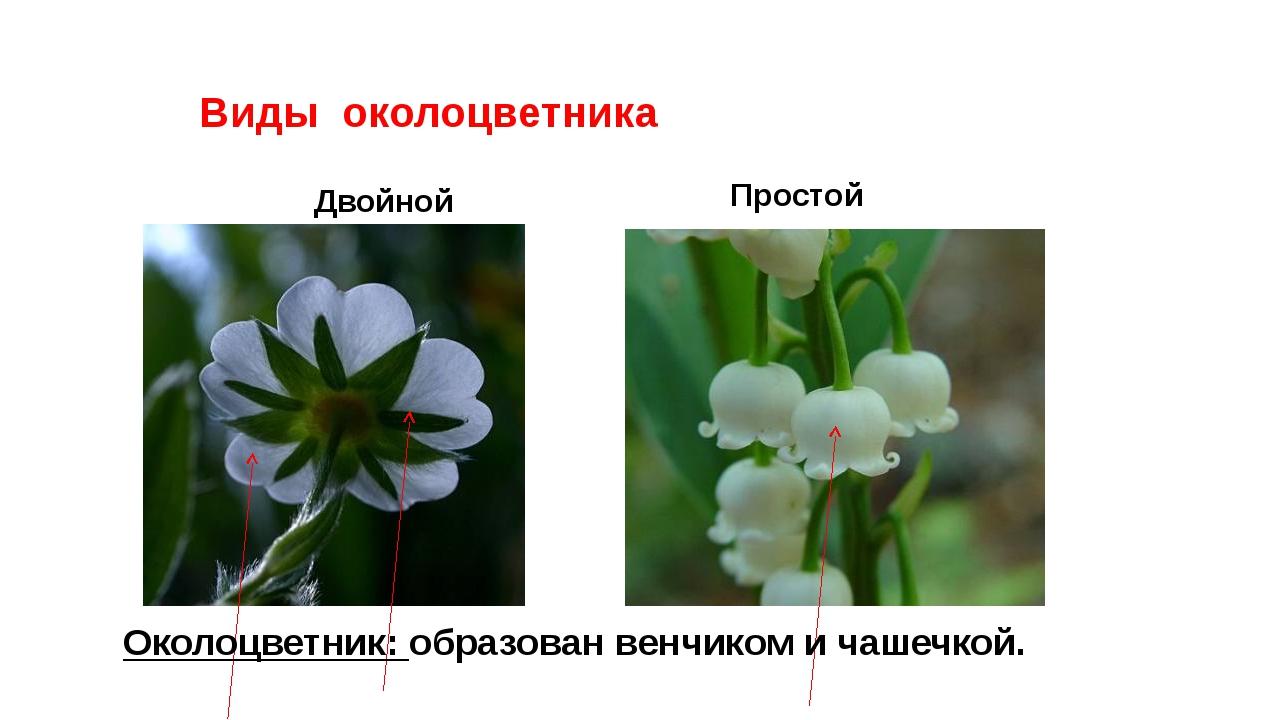Виды околоцветника Двойной Простой Околоцветник: образован венчиком и чашечк...