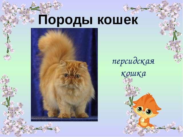 Породы кошек персидская кошка