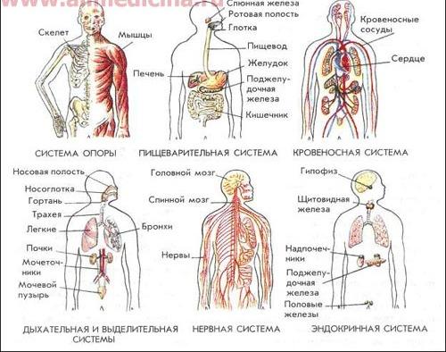 Системы органов - взаимодействие органов, выполняющих одну цель.