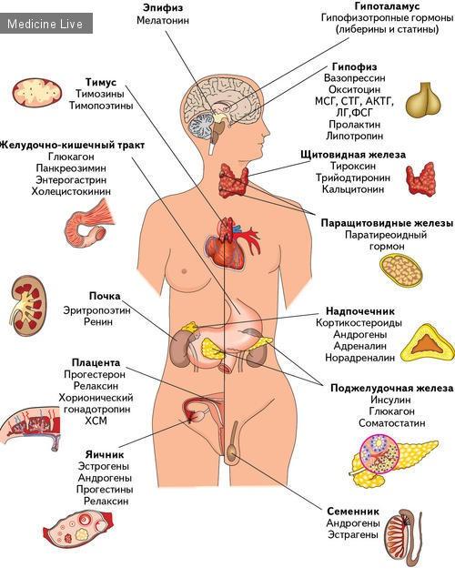 Эндокринная система человека. Щитовидная железа