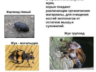 Жук трупоед Жук - могильщик Мертвоед тёмный В музеях используются жуки, корые