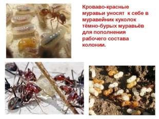 Кроваво-красные муравьи уносят к себе в муравейник куколок тёмно-бурых муравь