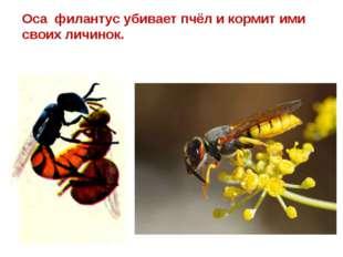 Оса филантус убивает пчёл и кормит ими своих личинок.