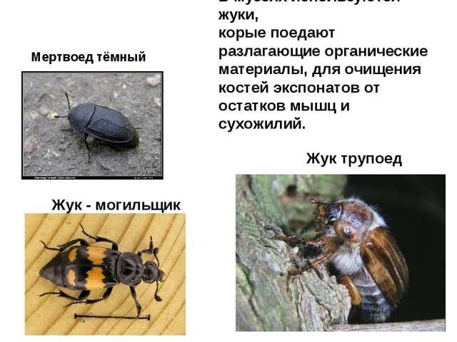 Жук трупоед Жук - могильщик Мертвоед тёмный В музеях используются жуки, корые...