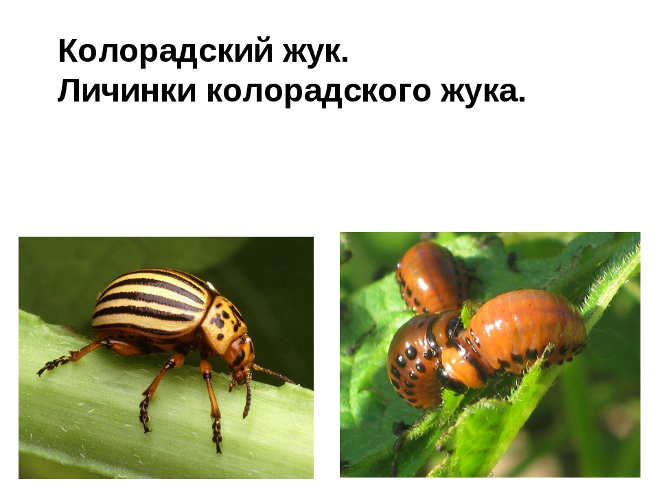 Колорадский жук. Личинки колорадского жука.